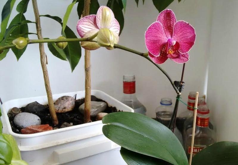 Orhidea.