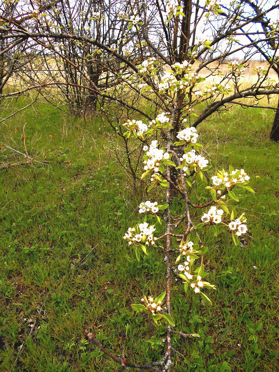 Апрель, в походе... Цветение в диком саду ... DSCN5109.JPG