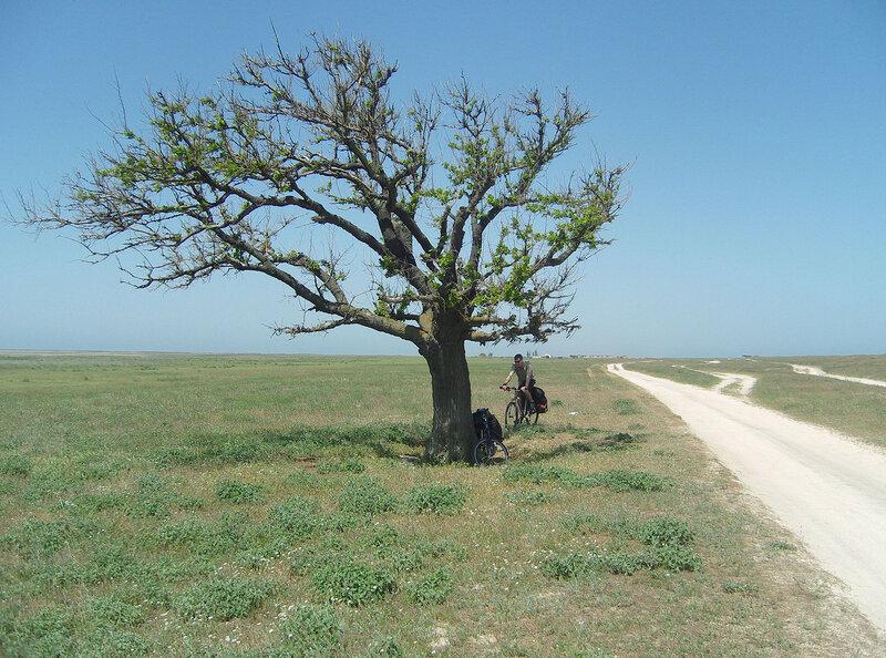 """Последнее дерево Арабатки"". Вроде, шелковица"