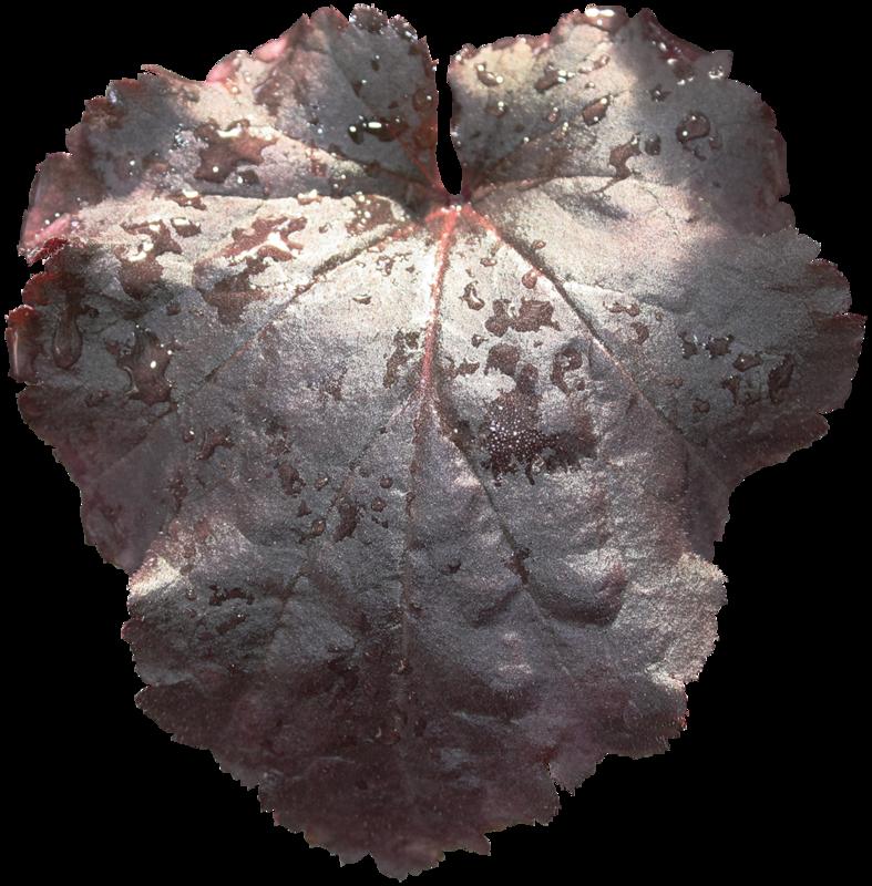 cvd inner storm begonia leaf.png