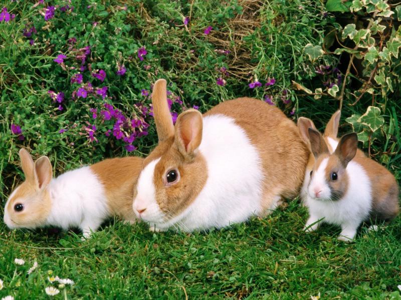 сукрольные крольчихи