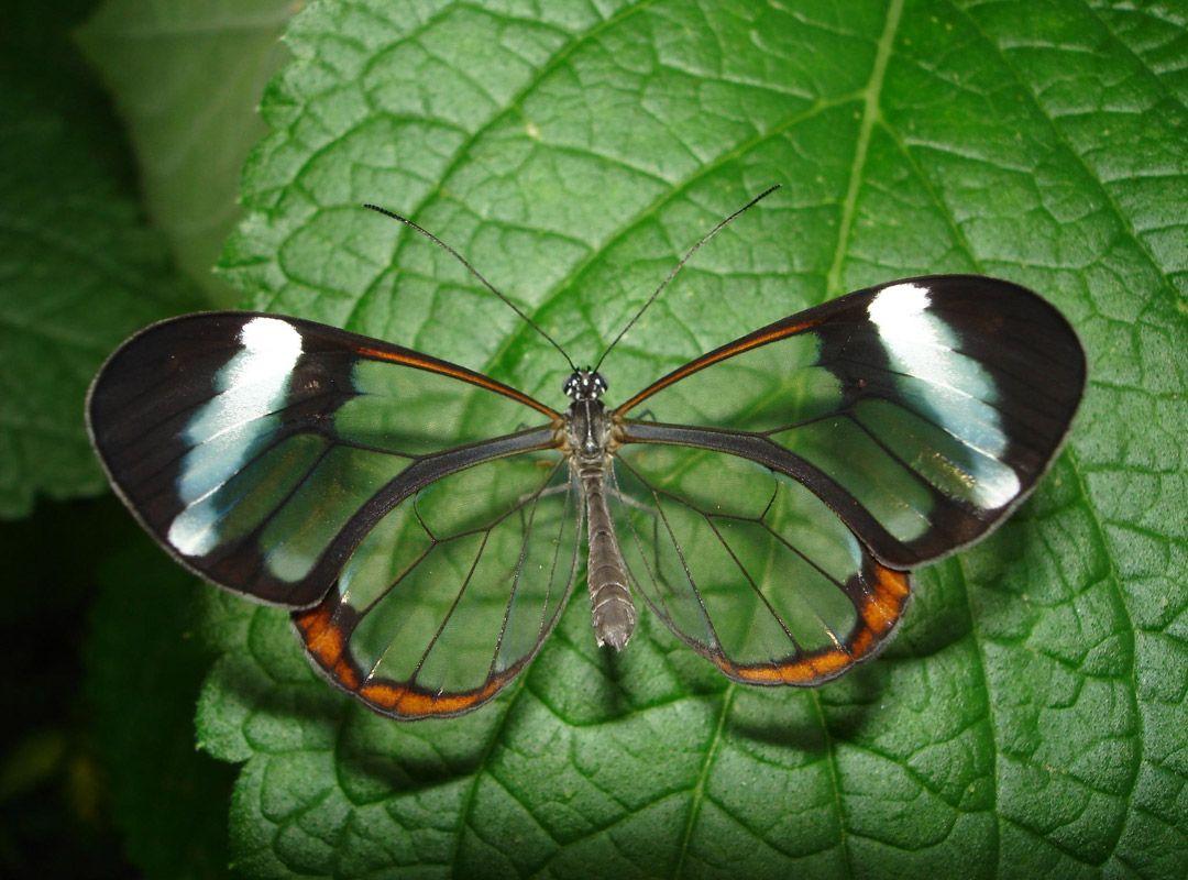 Бабочка по имени Грета (8 фото)
