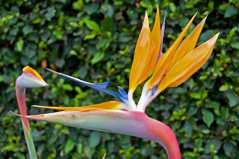 Цветок королевская стрелиция