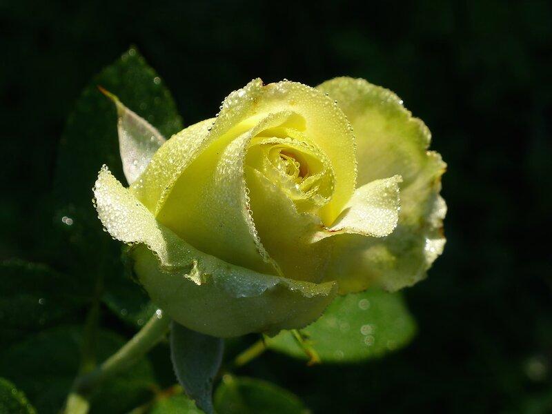 Rose St. Patrick