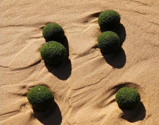 Гигансткие водоросли