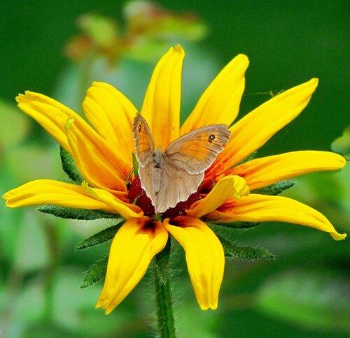 Бабочка на рудбекии