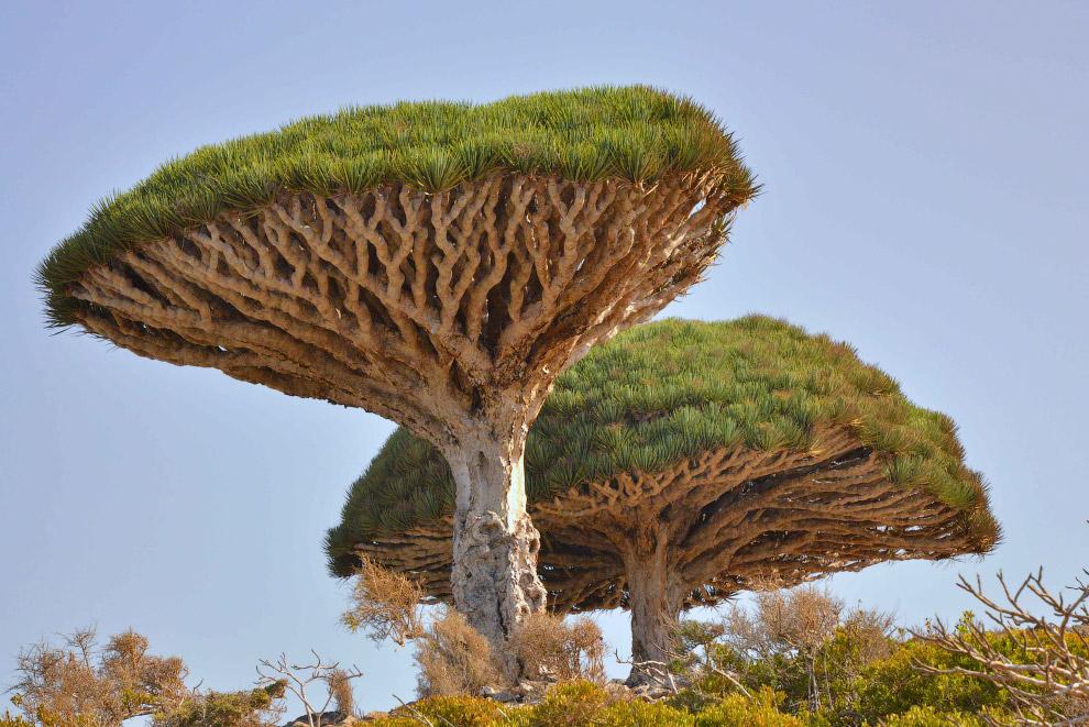35. На Сокорте произрастают около 800 видов растений. По словам ученых, флора Сокорты — уникаль