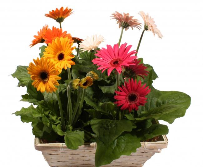 Это яркое цветущее растение эффективно удаляет извоздуха трихлорэтилен , формальдегид и бензол . Л