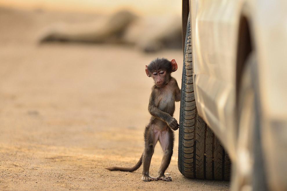Как бы колесо открутить… Маленький бабуин. (Фото Oskan Ozmen)
