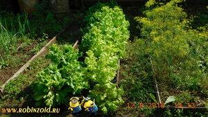 переросший салат