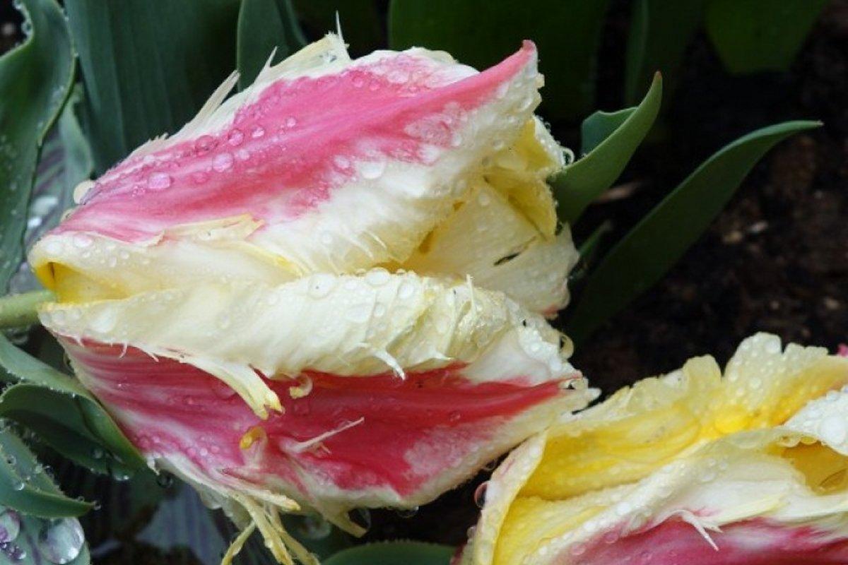 Большие тюльпаны Zampa Parrot онлайн