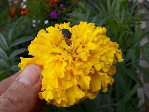 Жуки поедающие цветы.