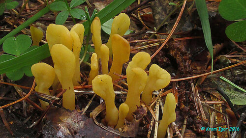 Спатулярия желтоватая (Spathularia flavida) Автор фото: Кром Игорь