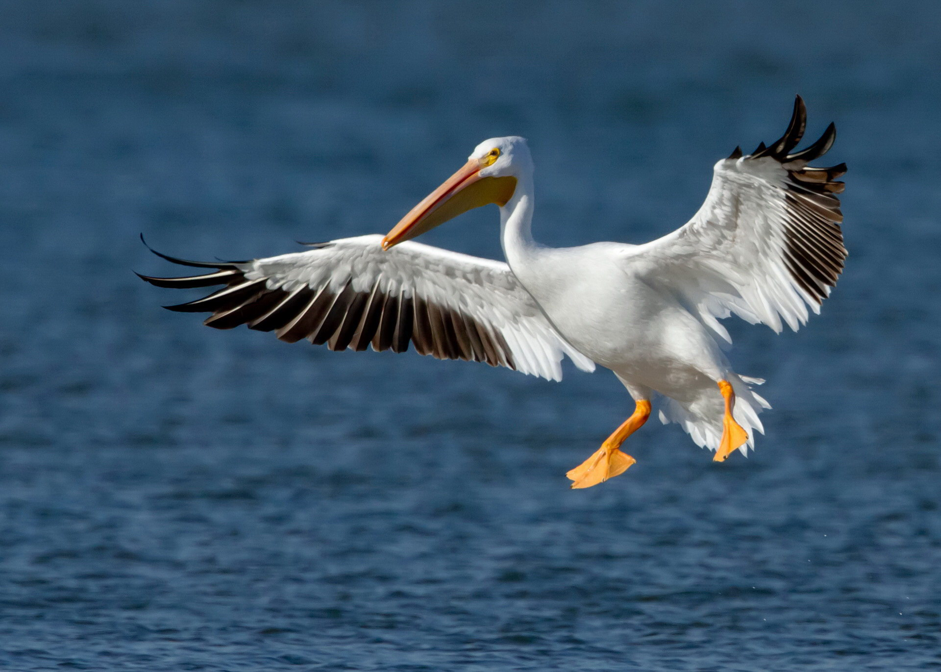 Пелікан у польоті