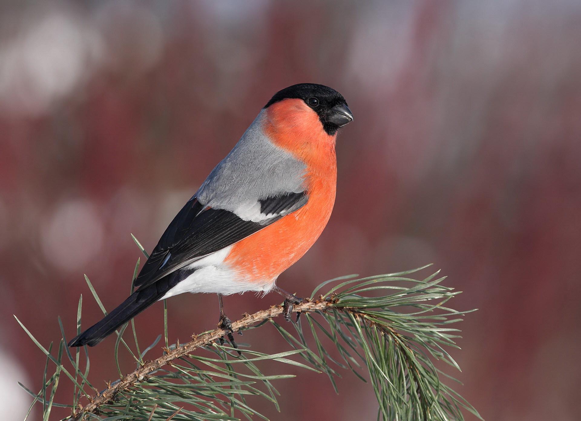 Витончена пташка