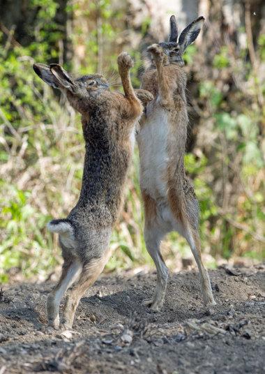 Зайцы соперничают за внимание самок. Снимок был сделан в Австрии.