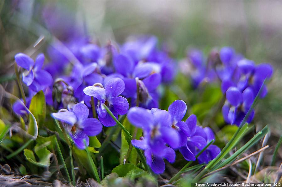 12. Ну и, конечно же, сон-трава. Нигде в Крыму я не видел такого насыщенного изобилия этих цвет