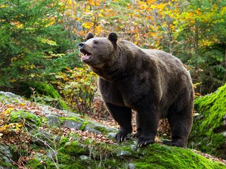 НаКурилах полицеские убили разъярённого медведя вцентре села