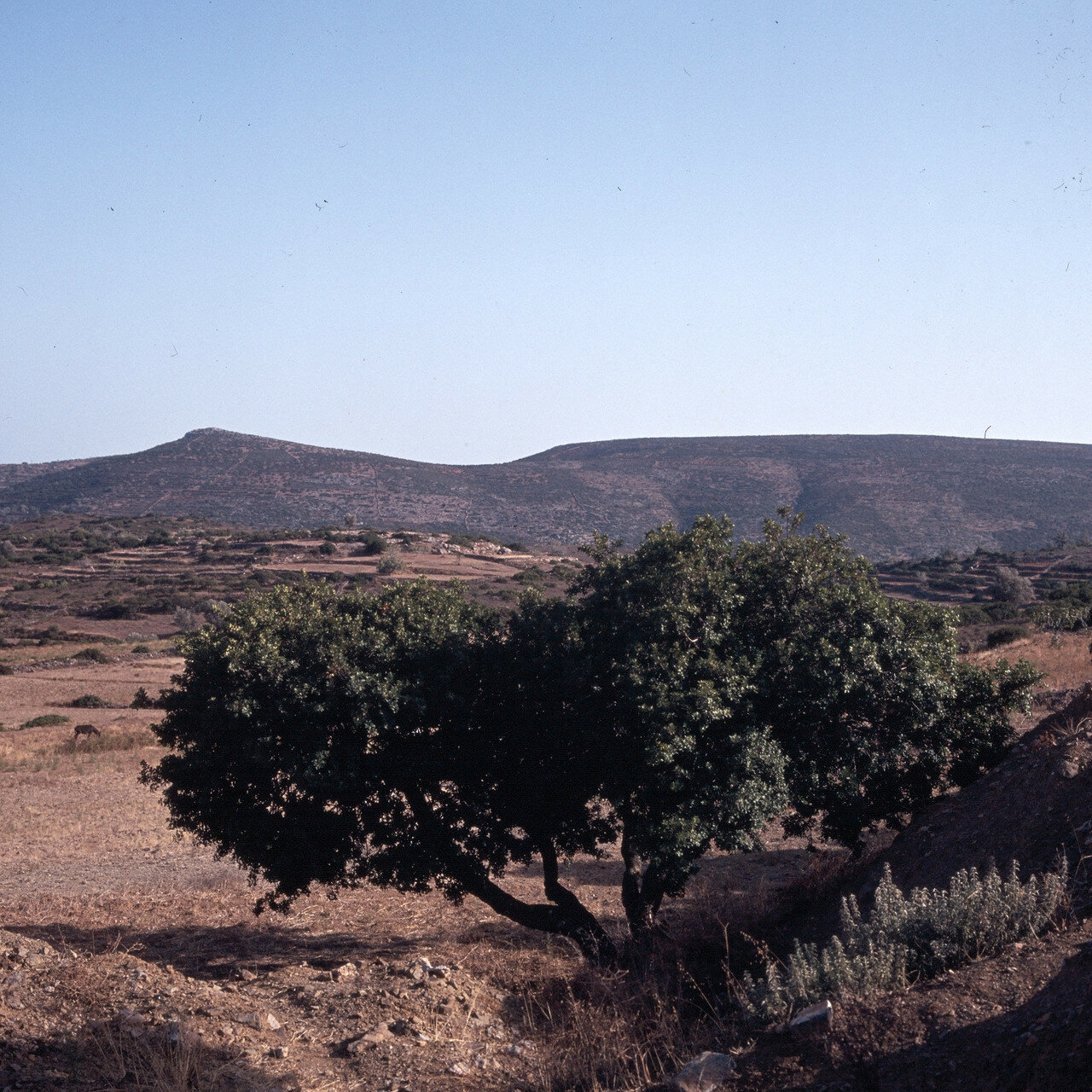 Южный Хиос. Пирги. Мастичное дерево