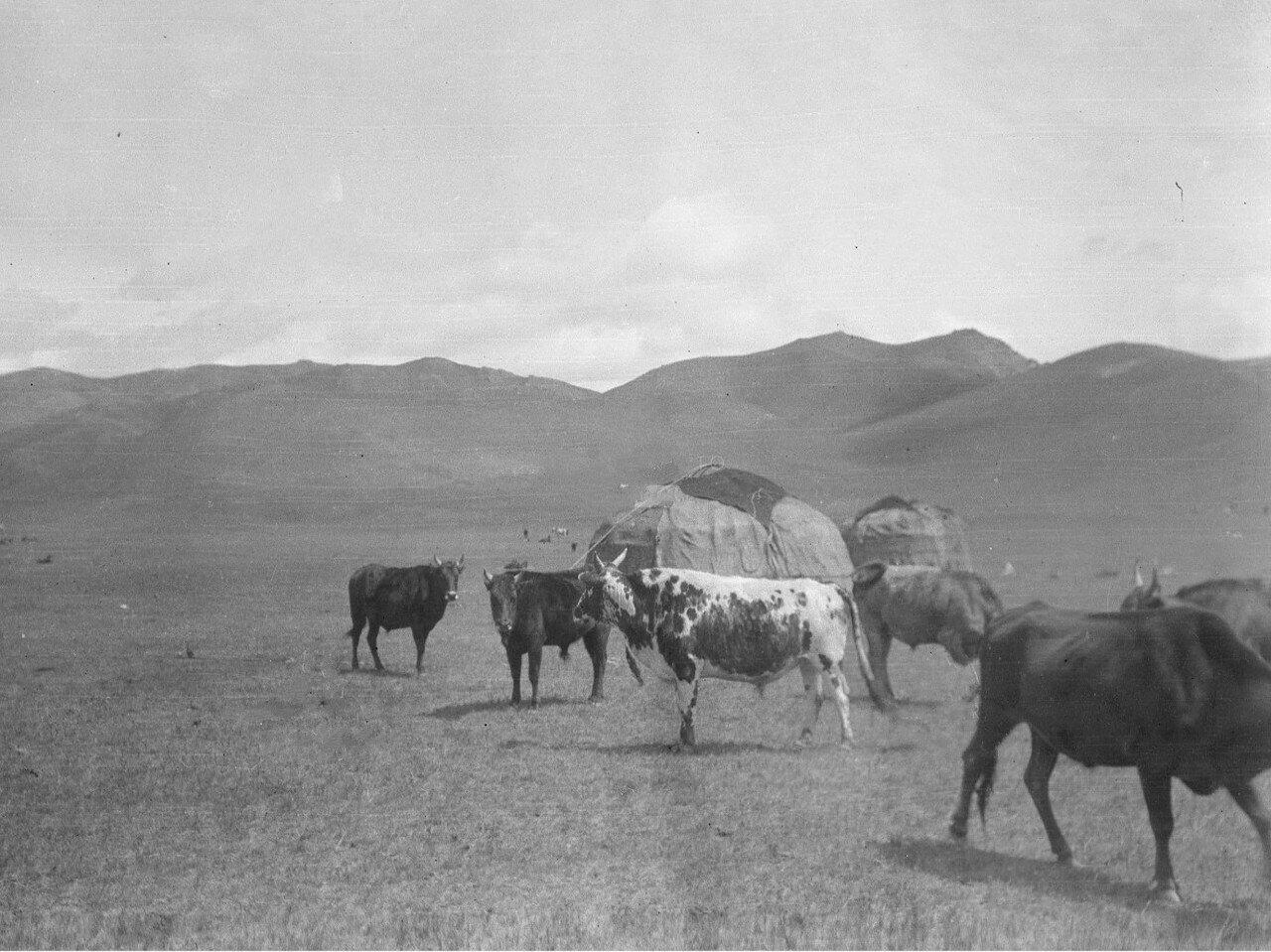 Киргизский скот в долине