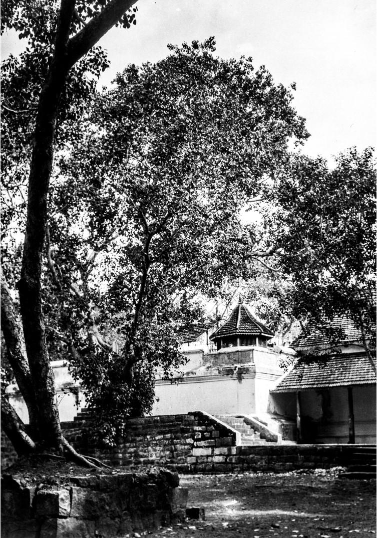 439. Смоковница перед буддийским храмом