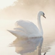 Лебедь на воде