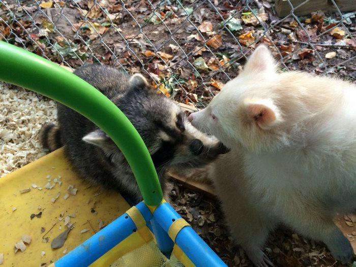 Сейчас благодарная спасенная енотиха постоянно обнимает и целует свою новую маму и других енотов — с