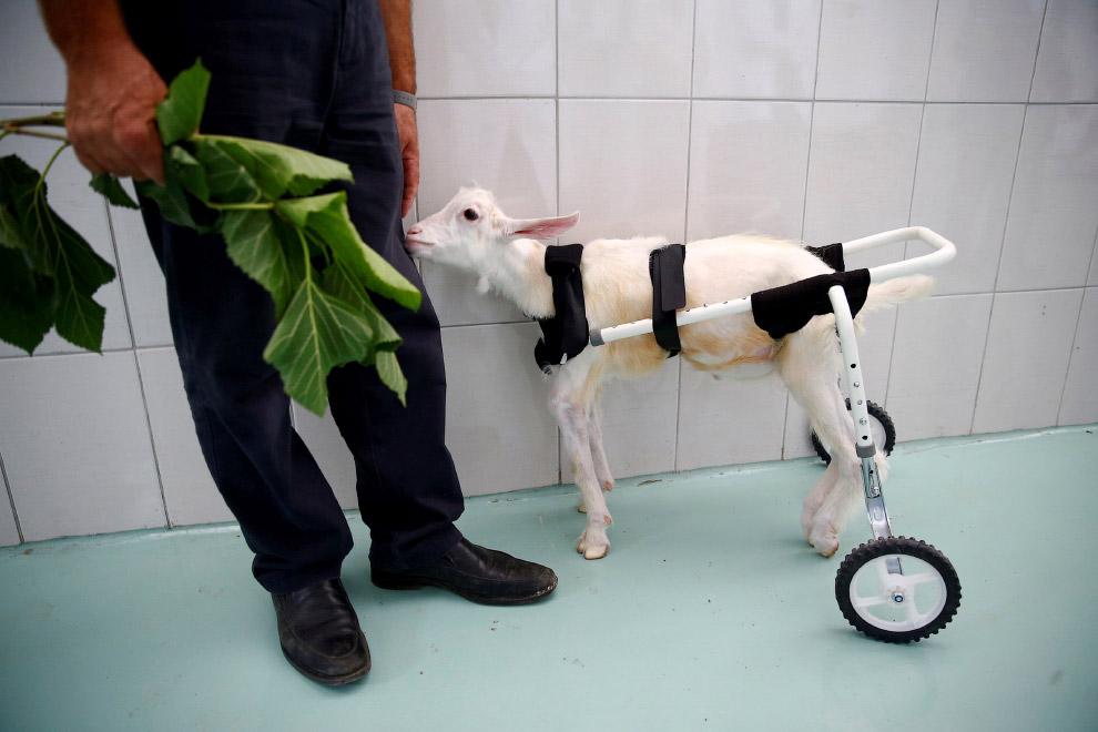 3. И снова задние лапы. Такса в приюте для животных-инвалидов в Австралии, 23 июня 2016. (Фото