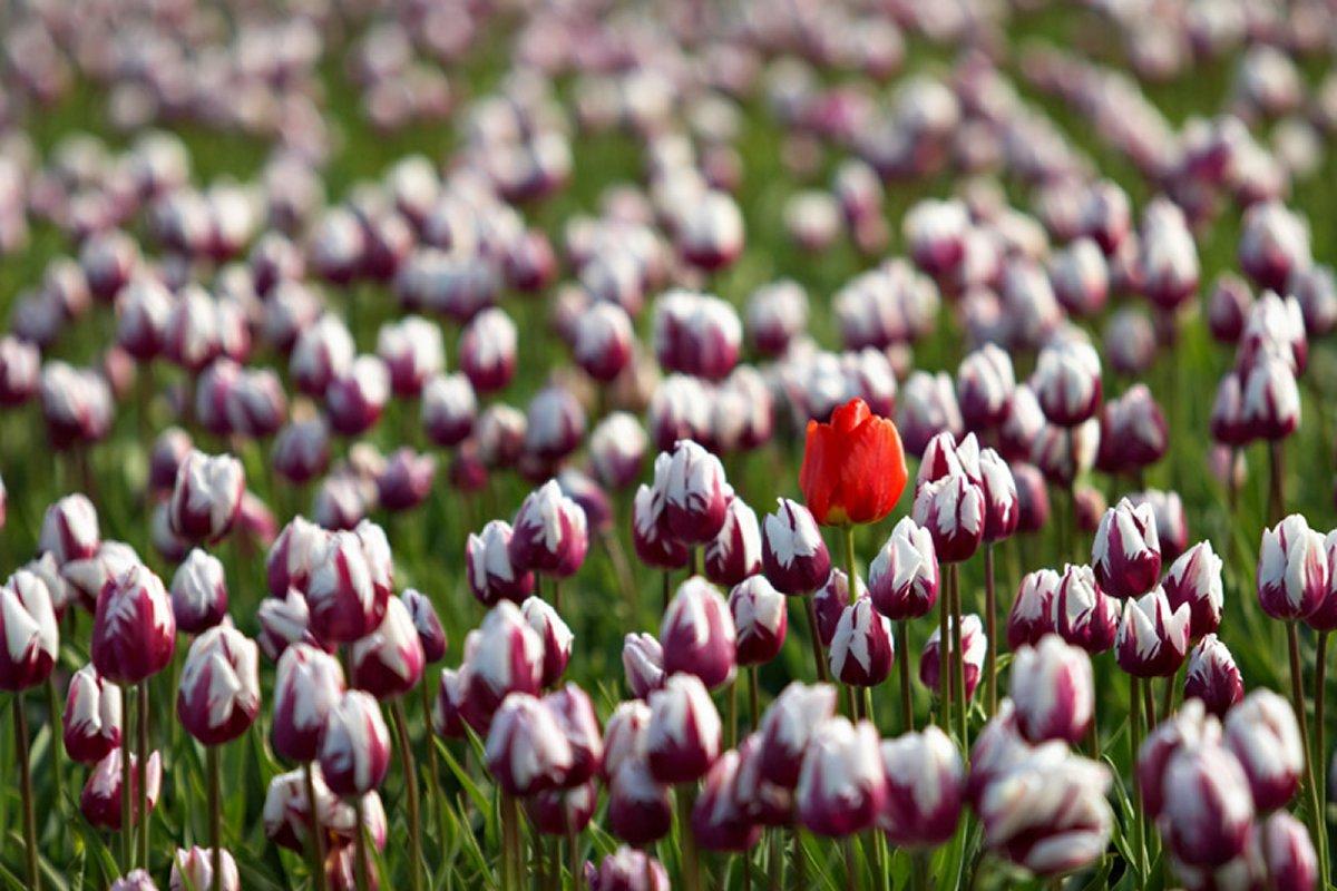 Луковицы тюльпанов Зюрел