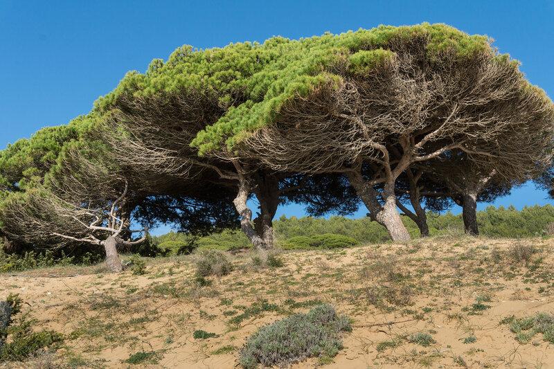 сосны на песке на берегу Света (Costa del luz) у Трафальгара (Trafalgar)