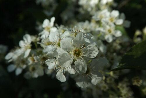 ...белых яблонь дым...