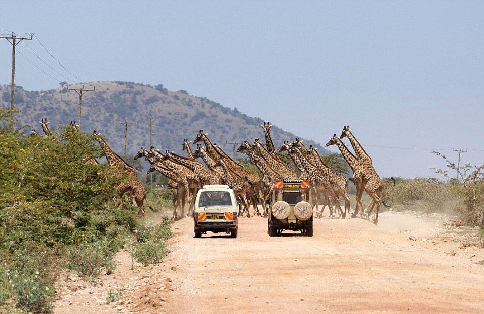Редкое зрелище: 30 жирафов переходят дорогу