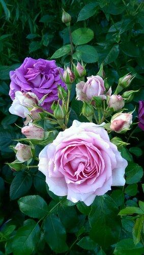 Rosenfee и Chartreuse de Parme