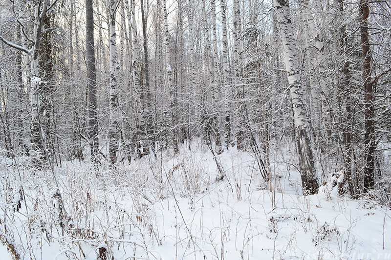 зима_в_берёзовой_роще_zima_v_berezovoy_roshche