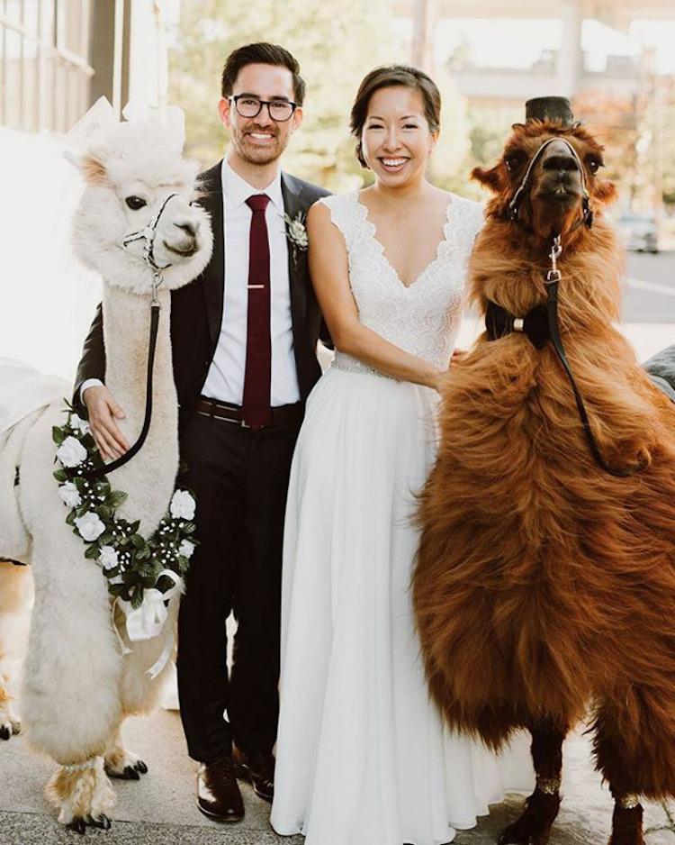 Пригласите на свадьбу альпаку: необычные гости, от которых все будут в восторге (16 фото)