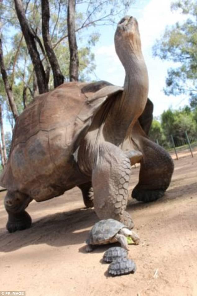 Однажды местный ветеринар увидел, как неизвестный выбежал из вольера с галапагосскими черепахами. Ок