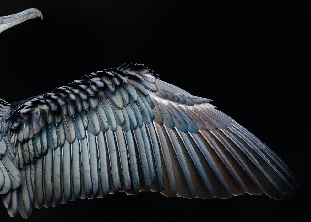 9. Белощекая болотная крачка в Венгрии. (Фото Ondrej Pelanek | 2017 Bird Photographer of the