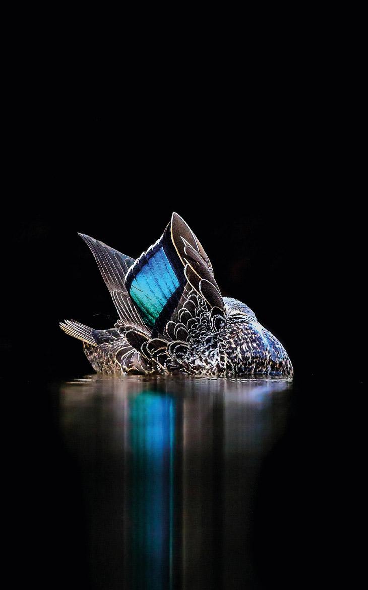 2. Самцы лысухи сражаются за территорию. (Фото Andrew Parkinson | 2017 Bird Photographer of the Year
