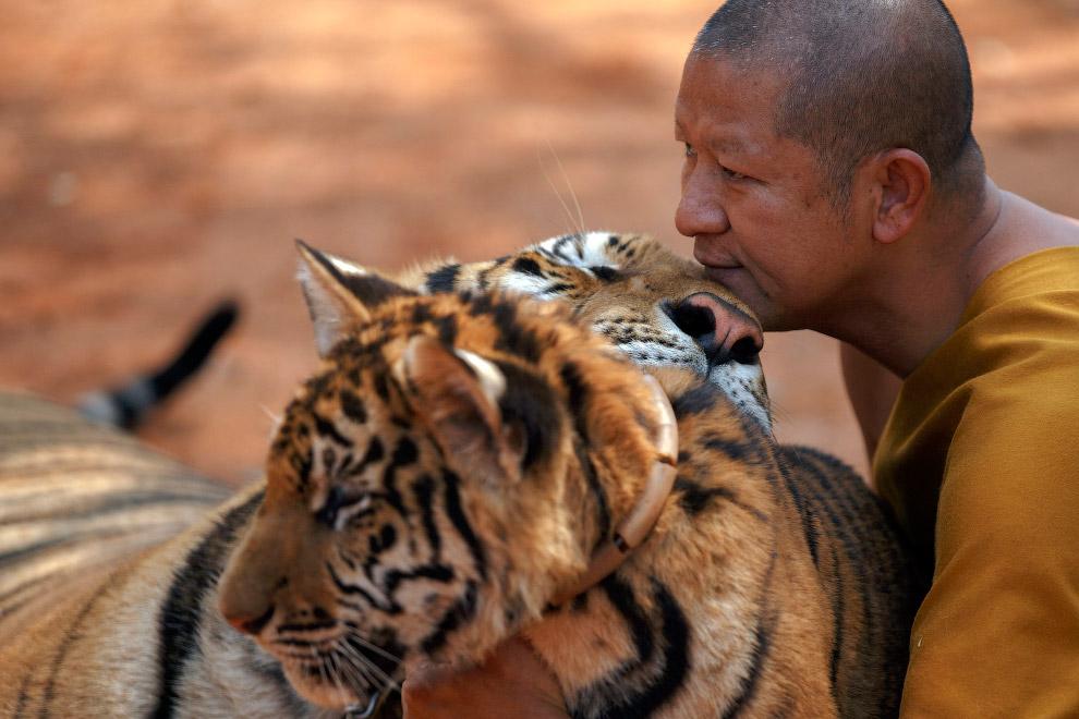 Как будто в Храме Тигров царит полное взаимопонимание. Но есть и  другая сторона медал