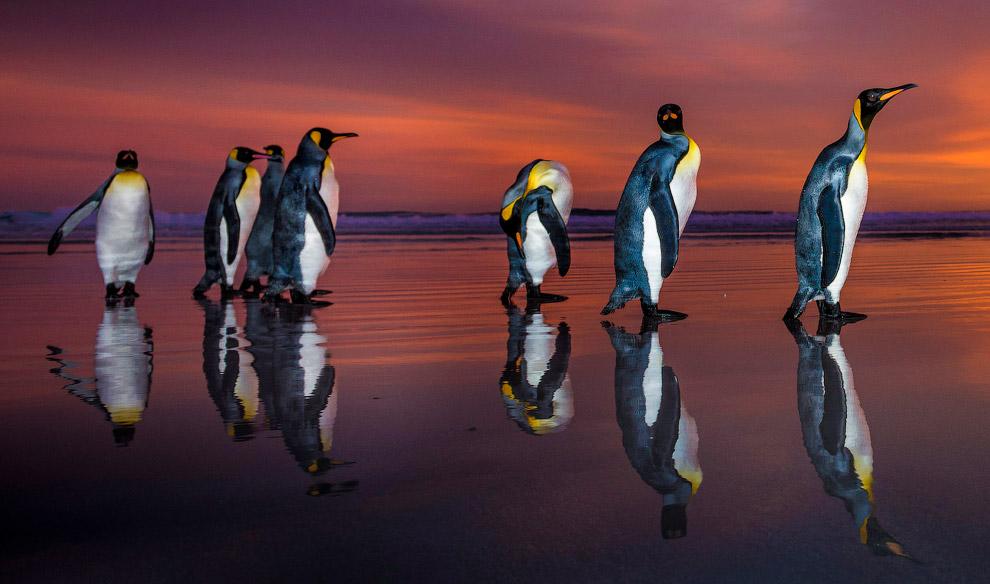5. Пингвинов, чьи гнездовья расположены в доступных для человека местах, моряки убивали начиная с XV