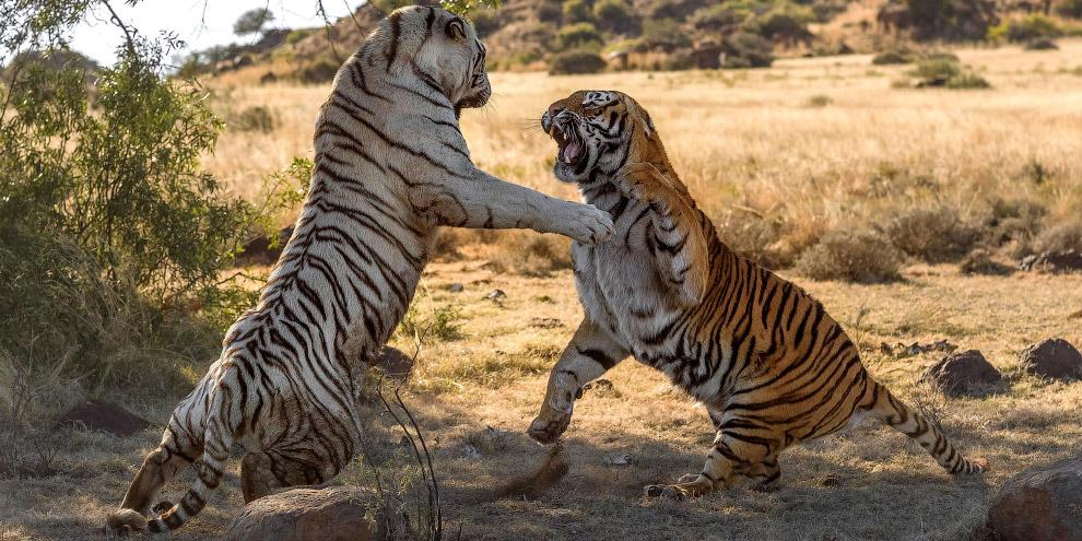 4. Кстати, частота появления белых тигров — одна особь на 10 000 с нормальной окраской. (Фото Alex K