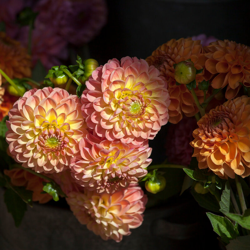 English fine dahlias for sale for special occasions: weddings, birthdays, dates