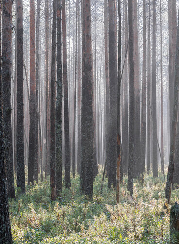 Сосняк на кустарничково-осоково-моховом болоте Автор фото: Владимир Брюхов
