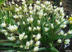 Тюльпаны - Страница 6 0_158a96_55eca130_M