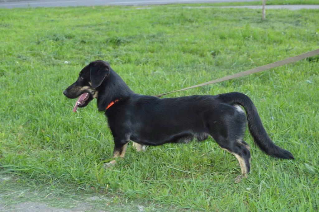 Малыш Такс собака из приюта догпорт