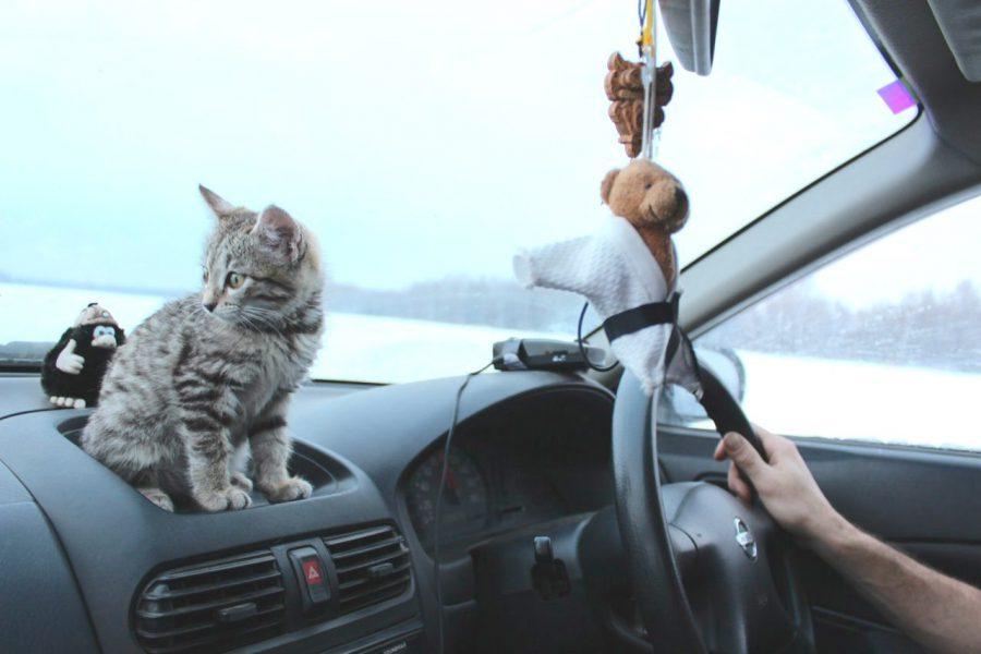 кошка-путешественница из Кузбасса