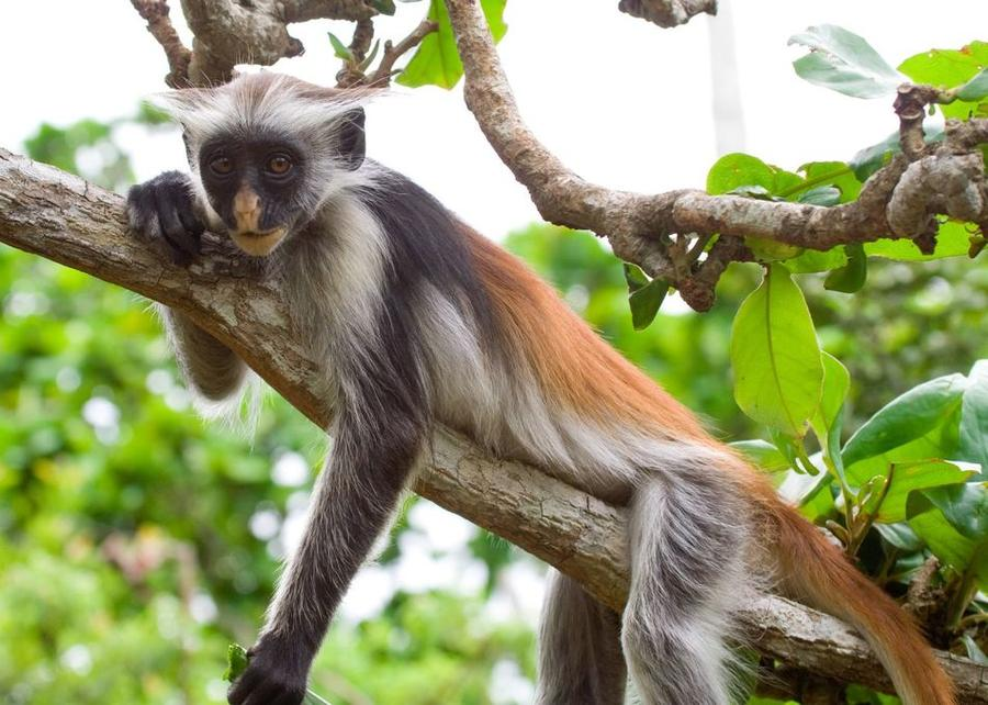 6. Колобус Именно здесь обитают обезьяны колобусы. Только на острове Унгуджа их насчитывается около