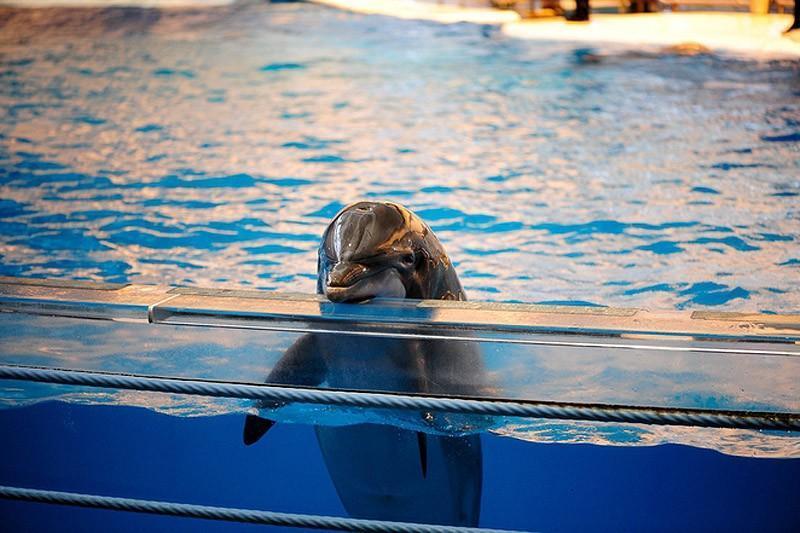 Дельфин в вольере. Индия стала четвертой страной, запретившей содержание дельфинов в неволе. Ранее а