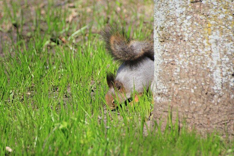Белочка закапывает орешек под корнями дерева в Александровском саду весной