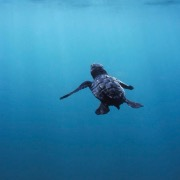 Черепашонок море